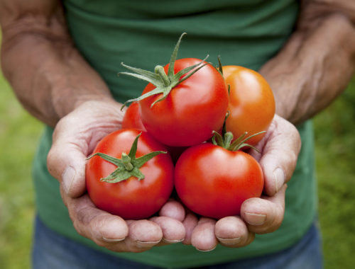 A mature male gardener holds a crop of tomatoes he has grown in his own vegetable patch.
